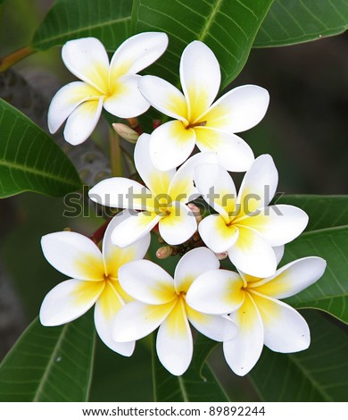 white and yellow frangipani flowers with leaves in background - stock photo