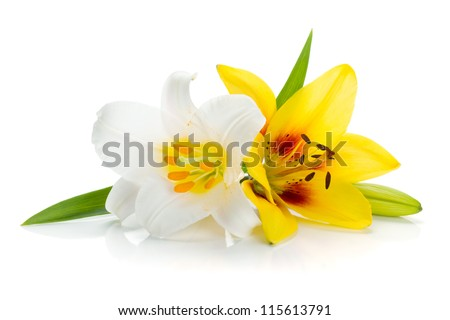 White and yellow lily. Isolated on white background - stock photo