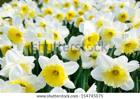 White and yellow narcissus field on sunny day - stock photo