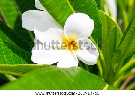 White and yellow Plumeria. (frangipani flowers, Frangipani, Pagoda tree or Temple tree) on bright sunlight. - stock photo