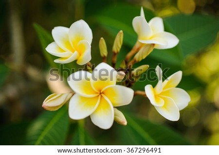 White and yellow Plumeria frangipani flowers  on tree on bright sunlight. - stock photo