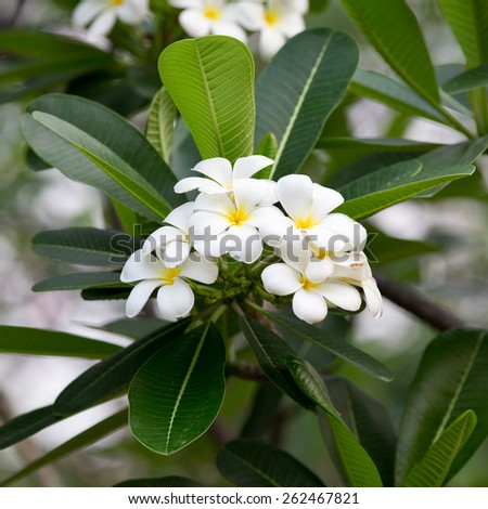 white and yellow Plumeria spp - stock photo