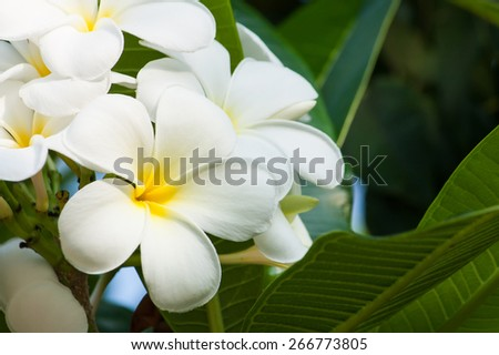 white and yellow Plumeria spp. (frangipani flowers, Frangipani, Pagoda tree or Temple tree) on natural background. - stock photo