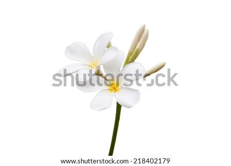 white and yellow Plumeria spp isolated on white background - stock photo