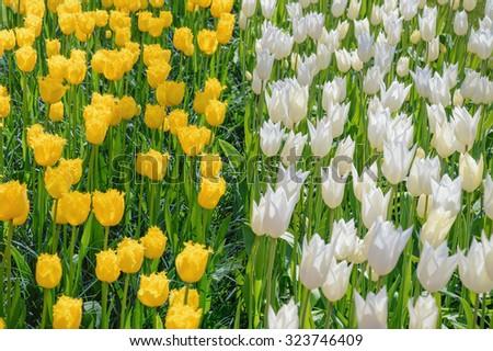 White and Yellow Tulips - stock photo