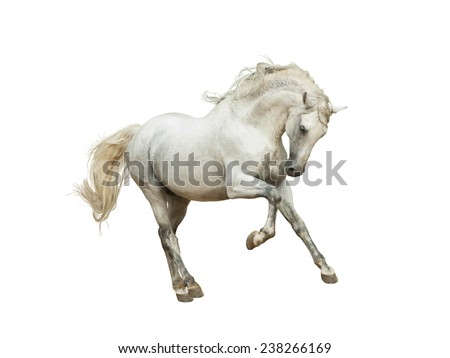 White andalusian horse isolated on white - stock photo