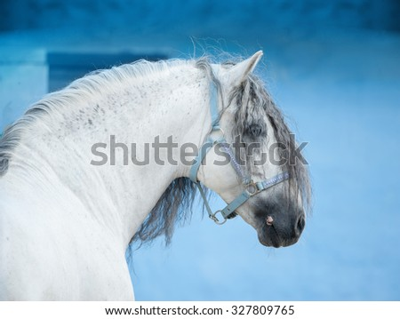 white andalusian horse on bright blue wall background portrait - stock photo