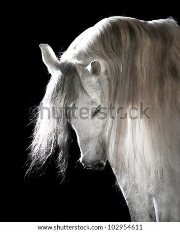 white Andalusian horse on the black background - stock photo