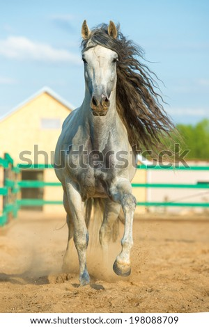White Andalusian horse portrait - stock photo