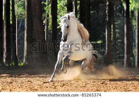 White andalusian horse runs gallop in summer - stock photo