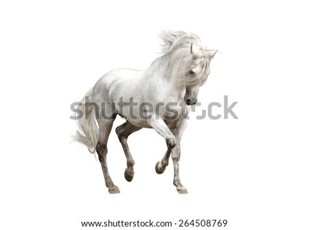 white andalusian horse stallion isolated on white background - stock photo