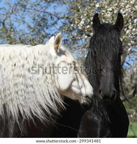 White andalusian horse with black friesian horse in spring - stock photo