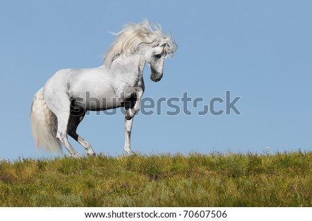 white andalusian stallion going piaffer on a grass