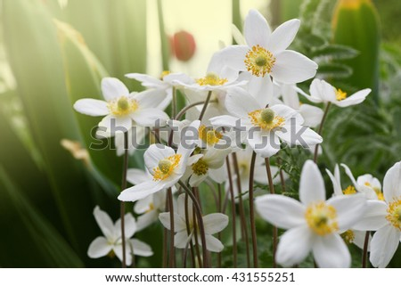 White anemones flowers in soft sunlight of dawn. Shallow focus.