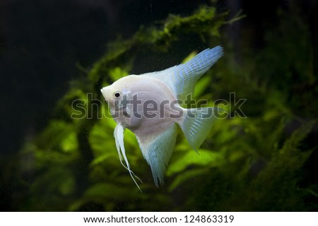 white Angel fish in green aquarium - stock photo