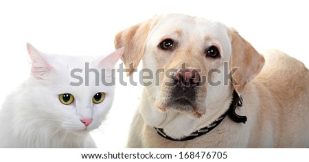 White Angora cat and dog of breed Labrador the Retriever. A close up, isolated on a white background. - stock photo