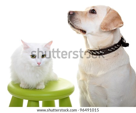 White Angora cat and dog of breed Labrador the Retriever. A close up, isolated on a white background. At a dog will put out language. - stock photo