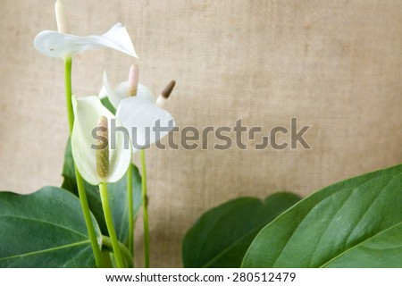 white anthurium with green leaves on natural brown sackcloth background - stock photo