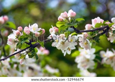 White apple blossoms with pink buds - stock photo