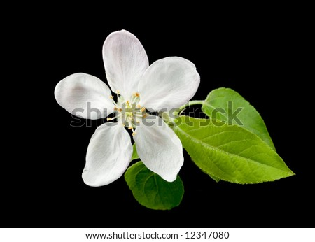 White apple flower on black background