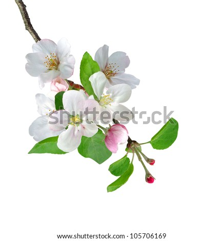 White apple flowers branch isolated on white background - stock photo