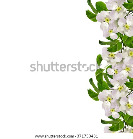 White apple flowers branch isolated on white background. delicate flower - stock photo