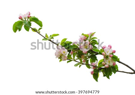 White apple flowers branch isolated on white background, design element - stock photo