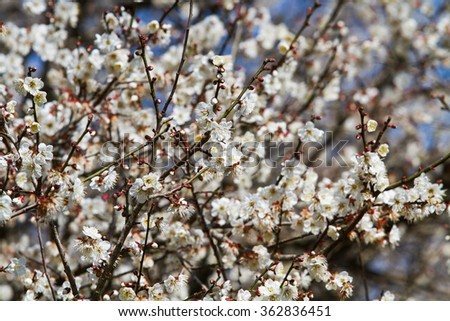 White apricot tree flower, seasonal floral nature theme, background of spring in Asia - stock photo