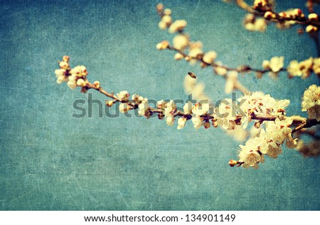 White apricot tree flowers in spring - stock photo