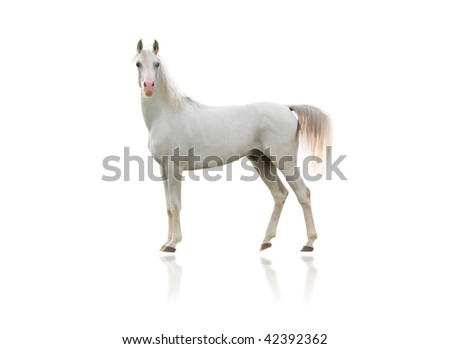 white arab horse - stock photo