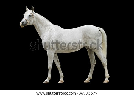 white arab horse isolated on black - stock photo