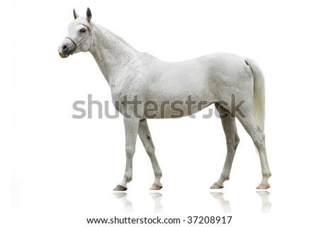 white arab horse isolated on white - stock photo