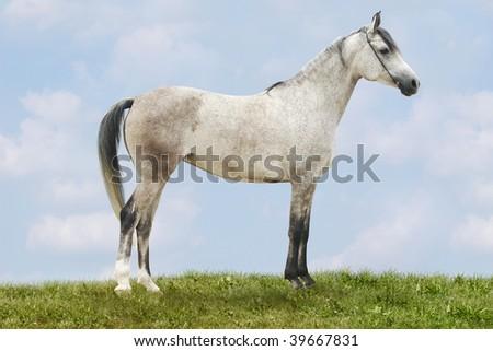 white arab horse on nature background - stock photo