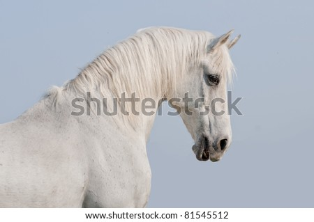white arab horse with blue sky background behind - stock photo
