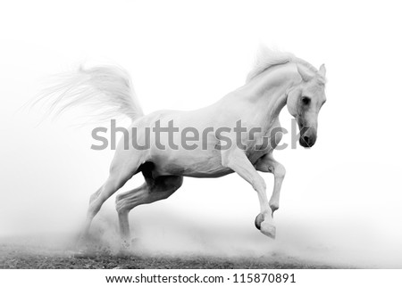 white arab stallion in dust - stock photo