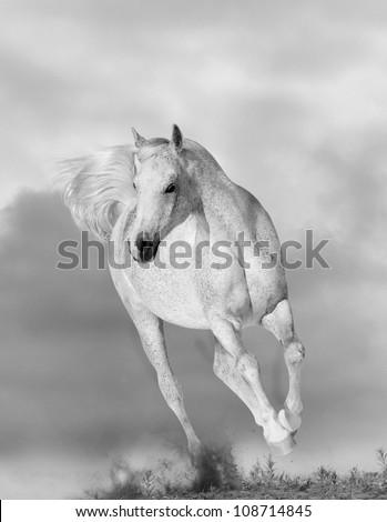 white arabian horse - stock photo
