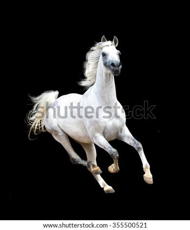 white arabian horse isolated on black background - stock photo