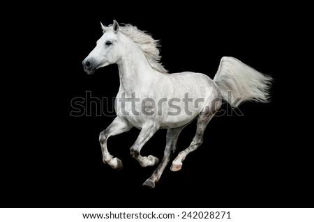 White arabian horse isolated on the black - stock photo
