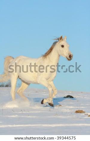 White arabian horse jumping - stock photo