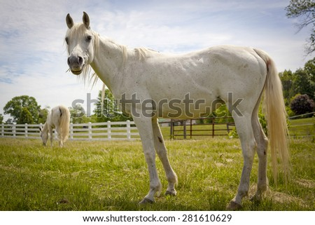White Arabian horse looking up from grazing - stock photo