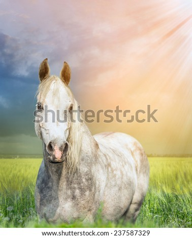 White arabian horse on pasture at sunset  - stock photo