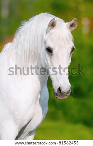 white arabian horse portrait in summer day - stock photo