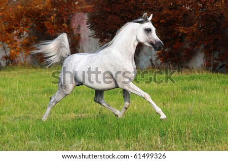 white arabian horse runs trot in autumn - stock photo