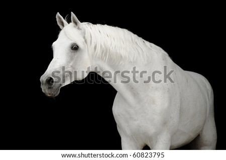 white arabian horse stallion isolated on black - stock photo