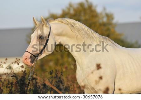 white arabian horse stallion portrait - stock photo