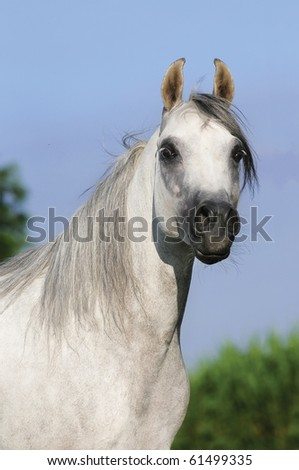 white arabian horse stallion portrait - stock photo