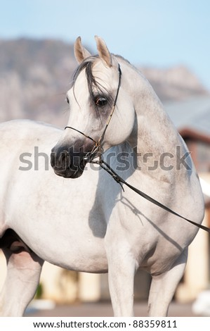 white arabian horse stallion portrait in summer