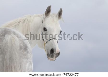 white arabian stallion - stock photo