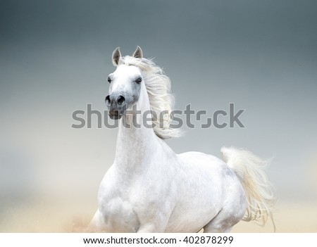 white arabian stallion portrait closeup - stock photo