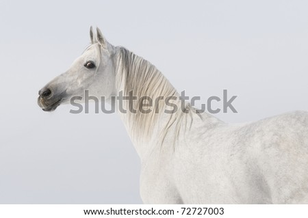white arabian stallion portrait on sky background - stock photo
